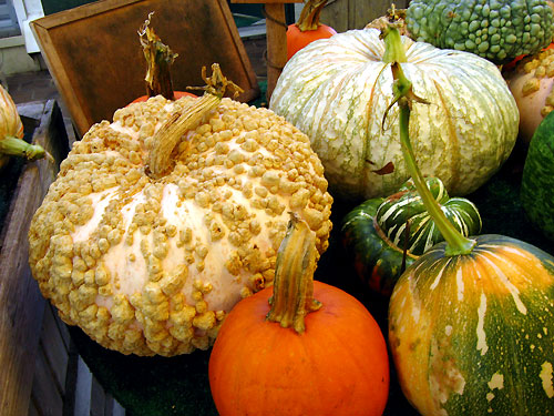 Peanut, Marbled, and Sugar Pumpkins